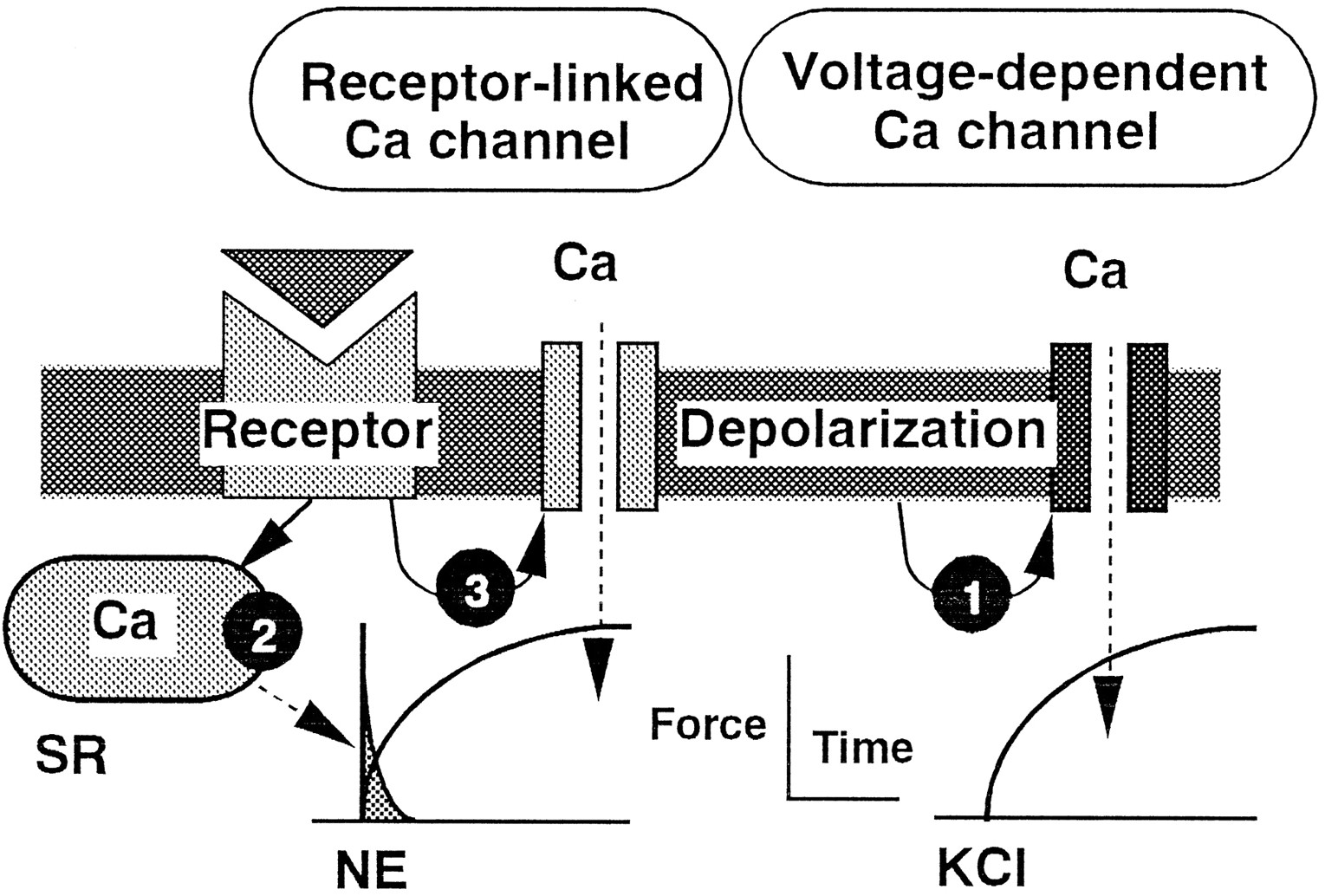 Calcium Movements Distribution And Functions In Smooth Muscle Automotive Wiring Diagrams Page 147 Of 301 Download Figure