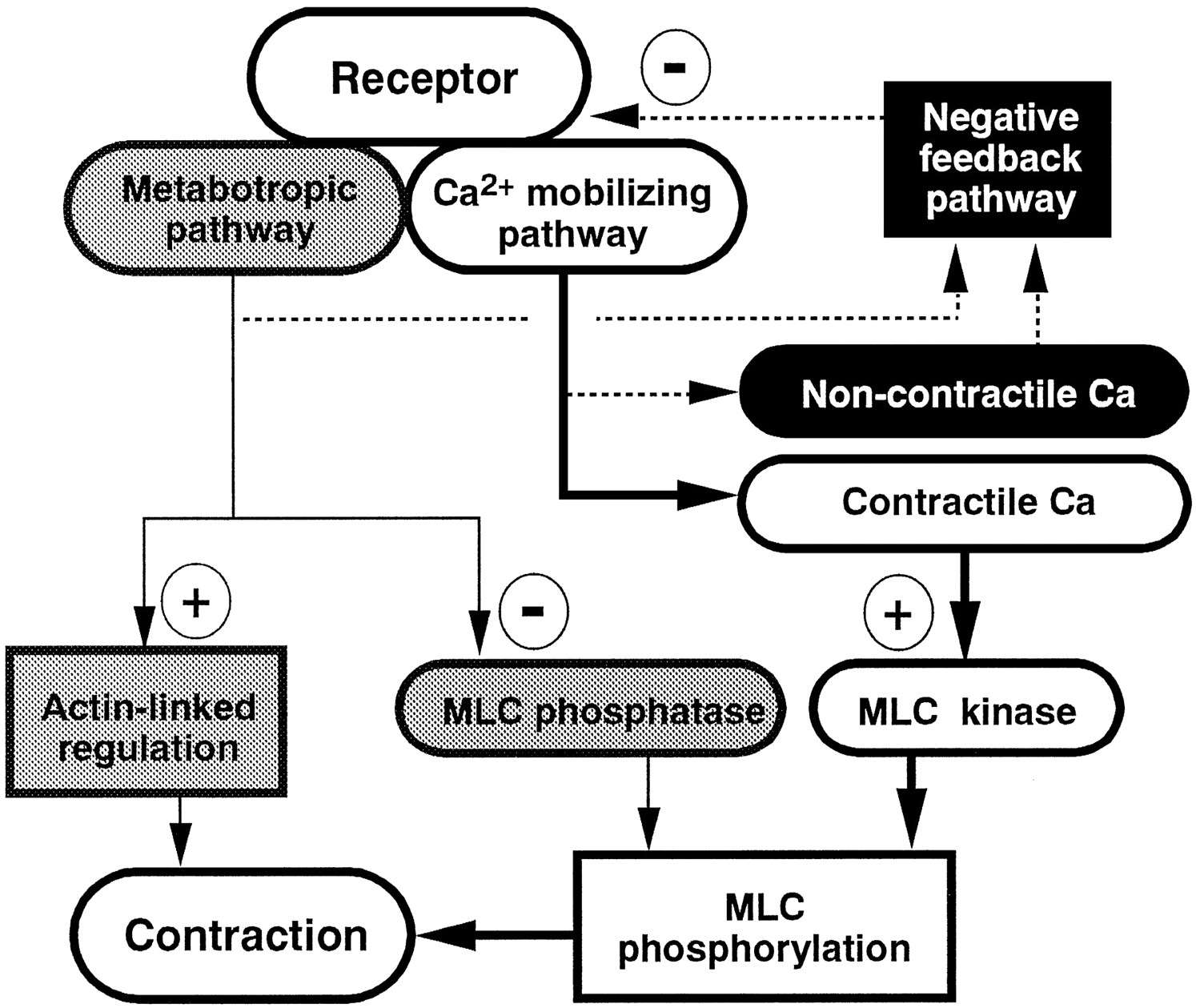 Calcium Movements Distribution And Functions In Smooth Muscle