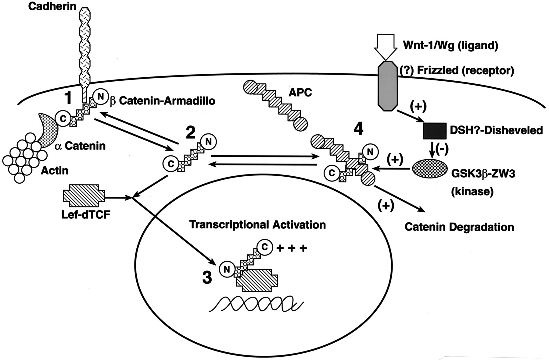 Signal Transduction And Modulation By Cell Adhesion Receptors Wiring Diagram For 84 62 Sel Stick The 1947 Download Figure