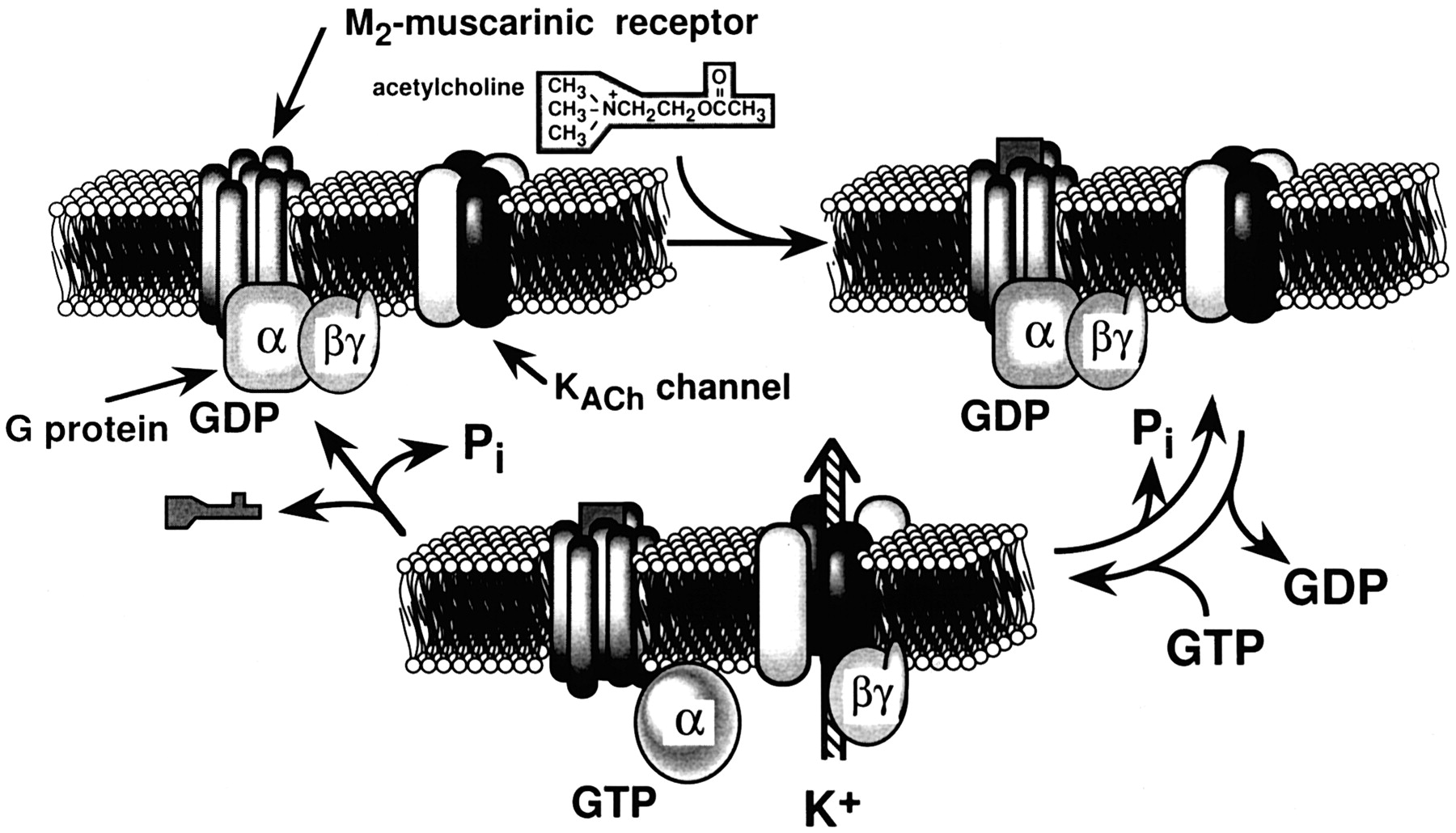 g protein regulation of potassium ion channels