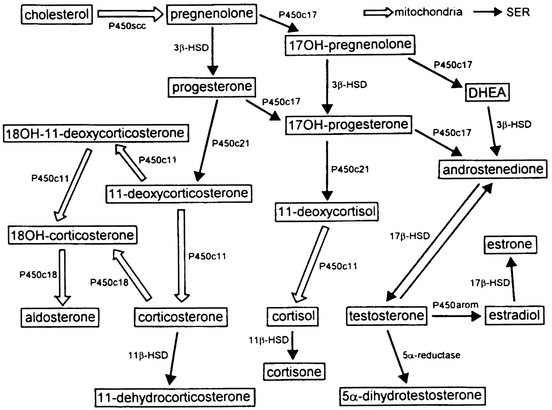 steroid 21 hydroxylase