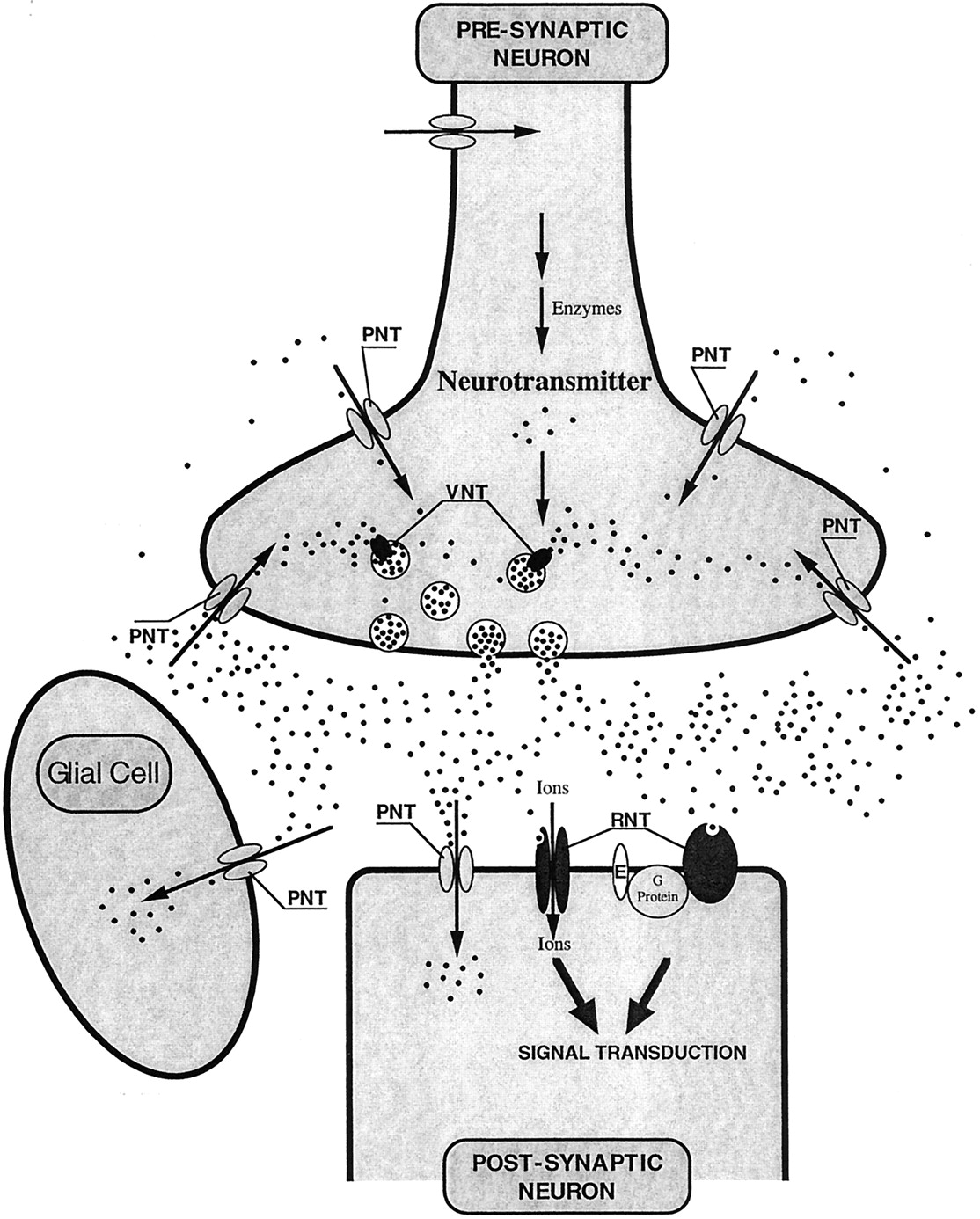Neurotransmitter transporters in the central nervous system download figure ccuart Gallery