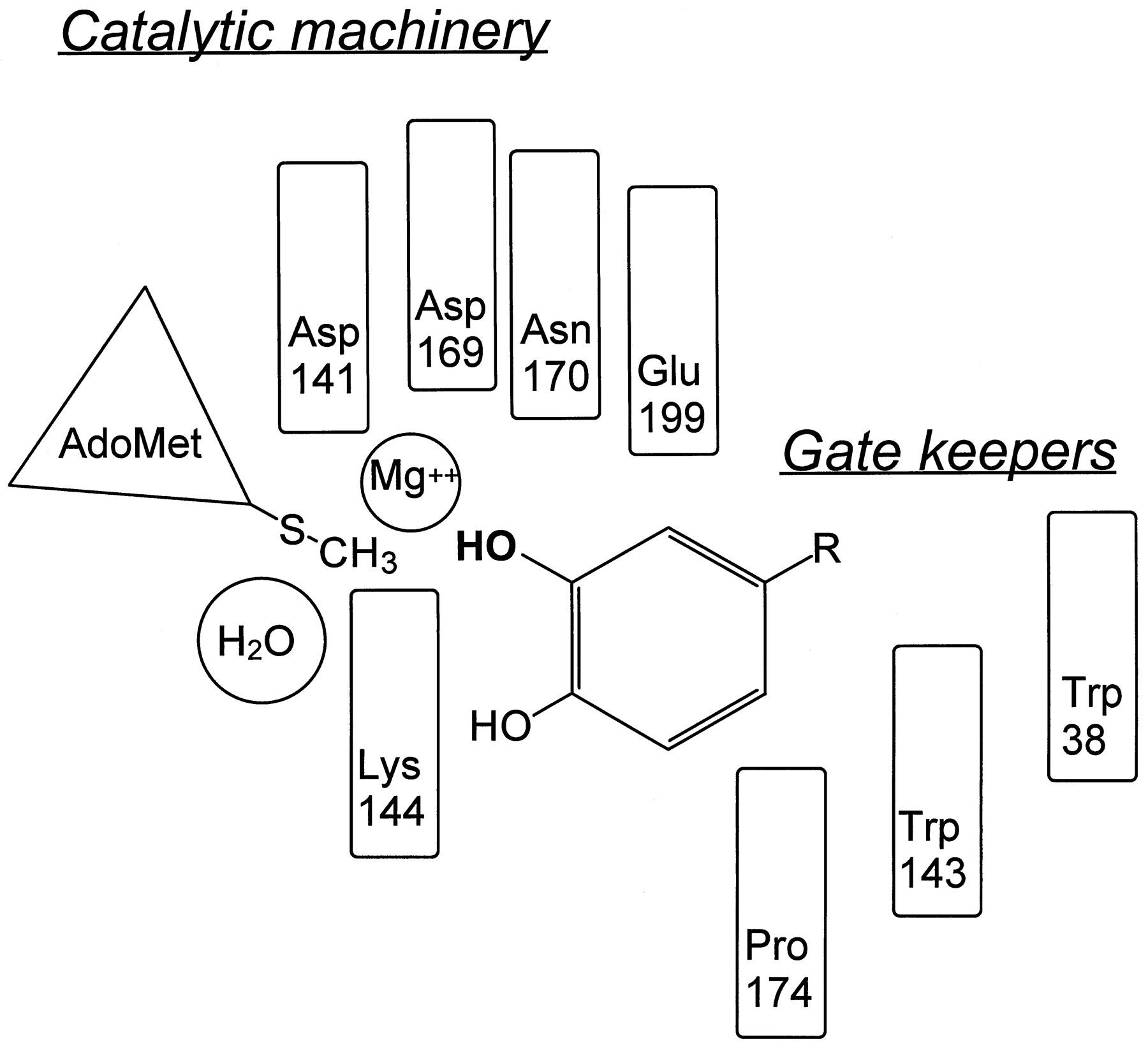 Catechol-O-methyltransferase (COMT): Biochemistry
