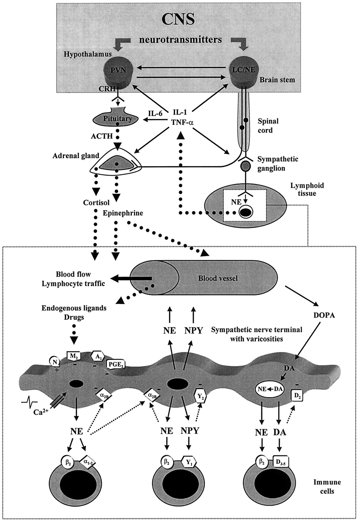 The Sympathetic Nerve—An Integrative Interface between Two ...