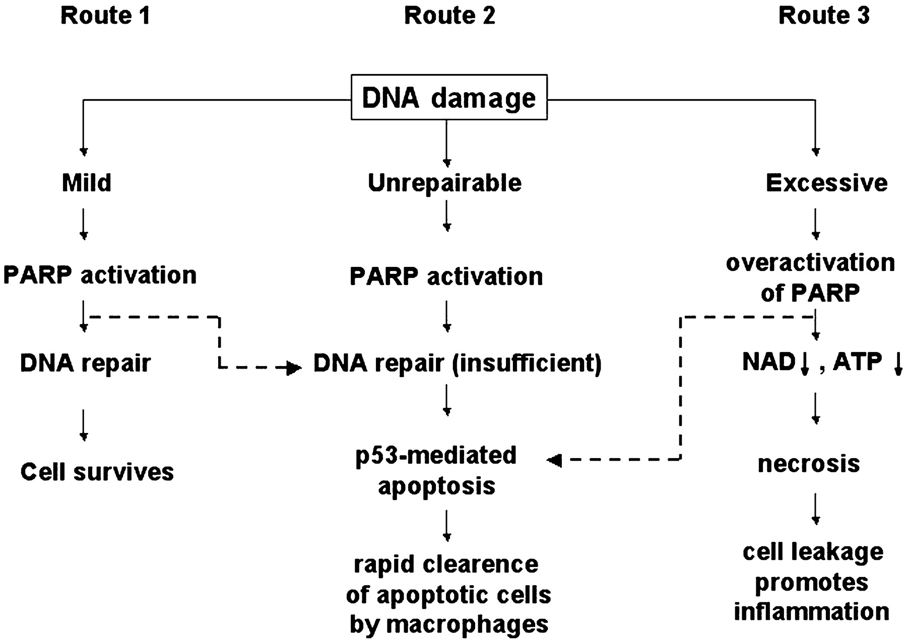 The Therapeutic Potential of Poly(ADP-Ribose) Polymerase Inhibitors