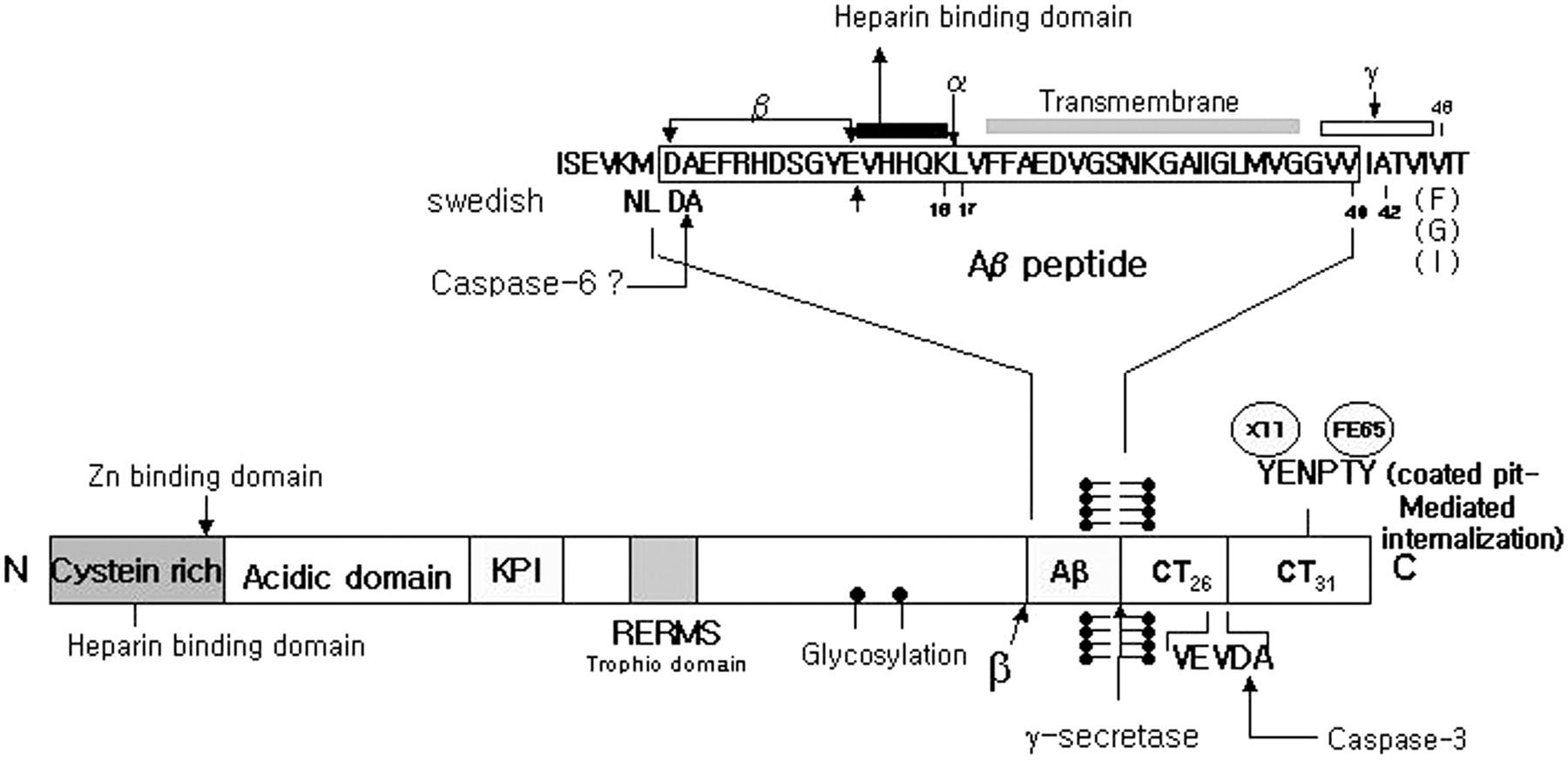 Amyloid Precursor Protein Presenilins And Synuclein Molecular The Ps 2 Mouse Schematic Sent To Me By Bui Van Chu From Australia Download Figure