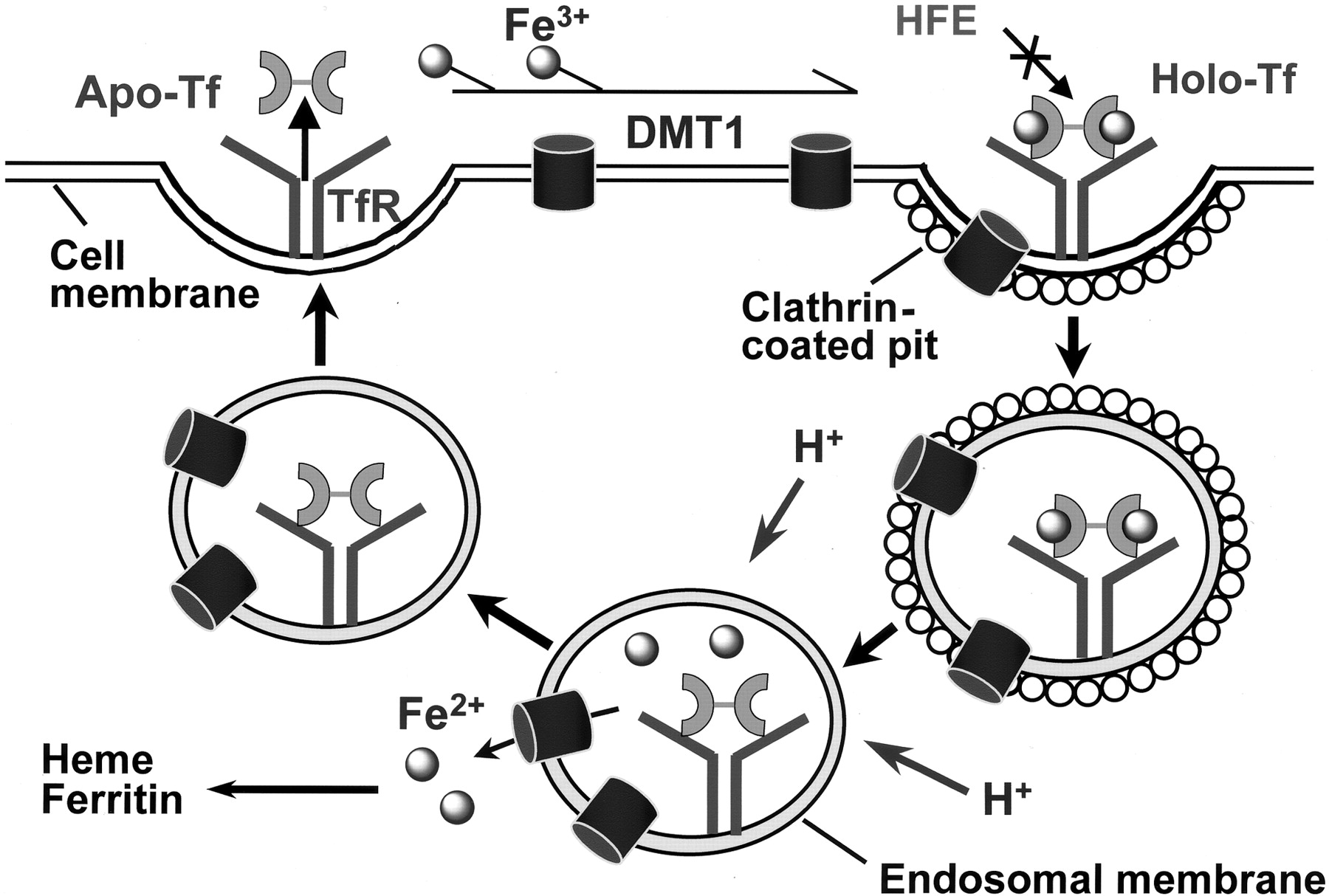 Targeted Drug Delivery via the Transferrin Receptor-Mediated