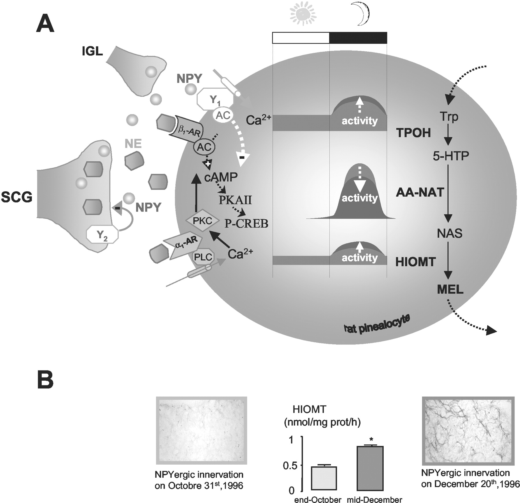 Generation Of The Melatonin Endocrine Message In Mammals A Review