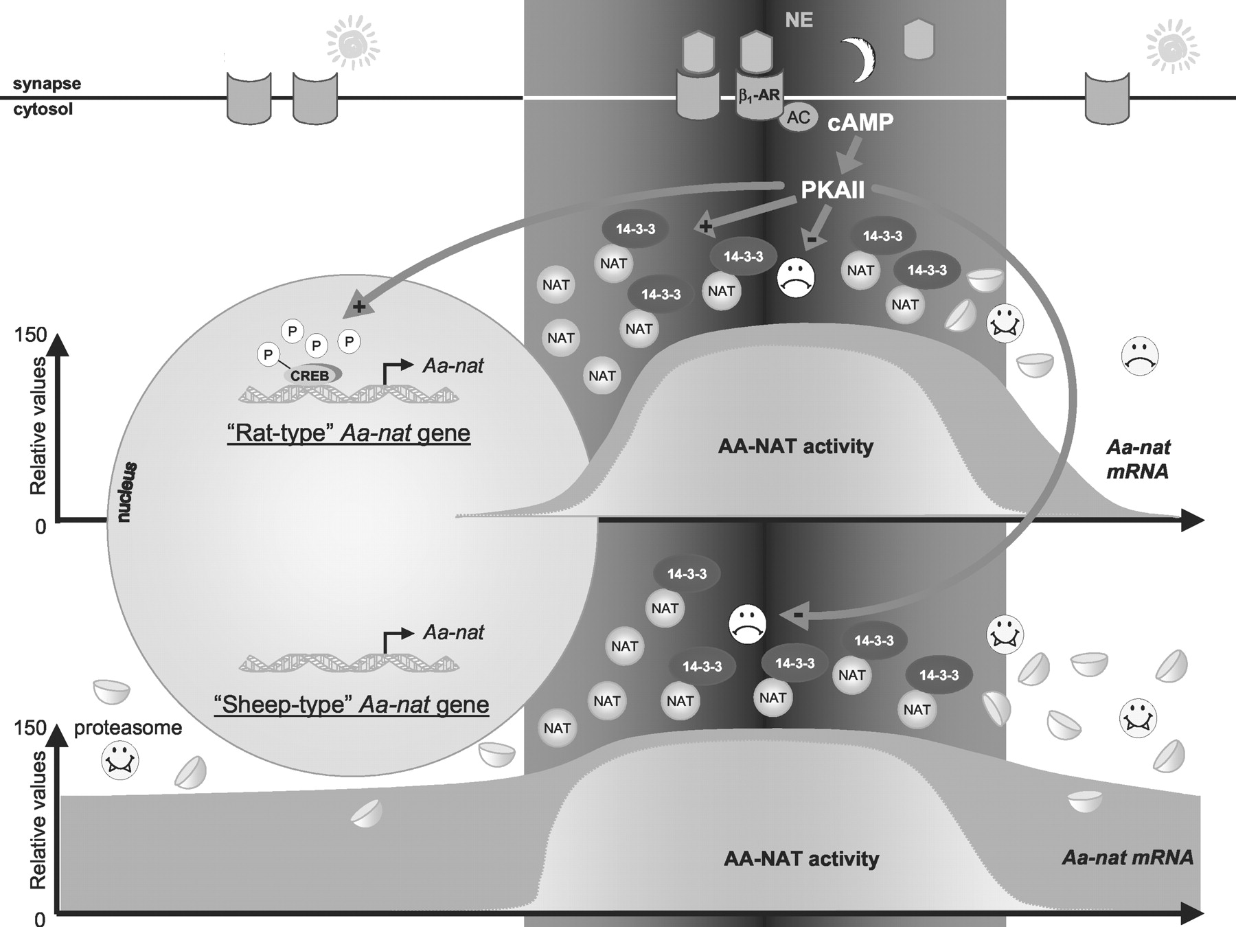 Generation of the Melatonin Endocrine Message in Mammals: A Review ...
