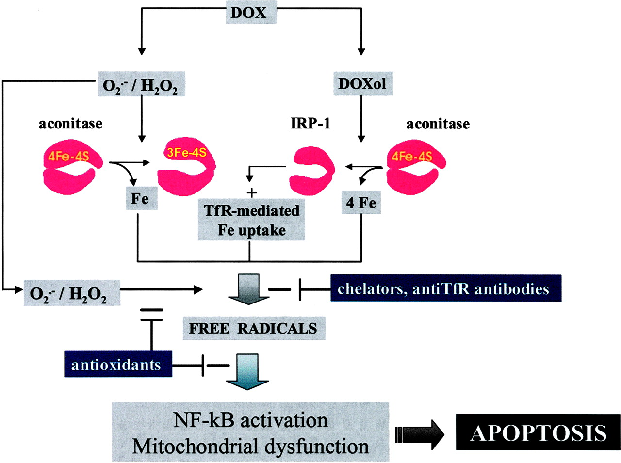 Anthracyclines: Molecular Advances and Pharmacologic