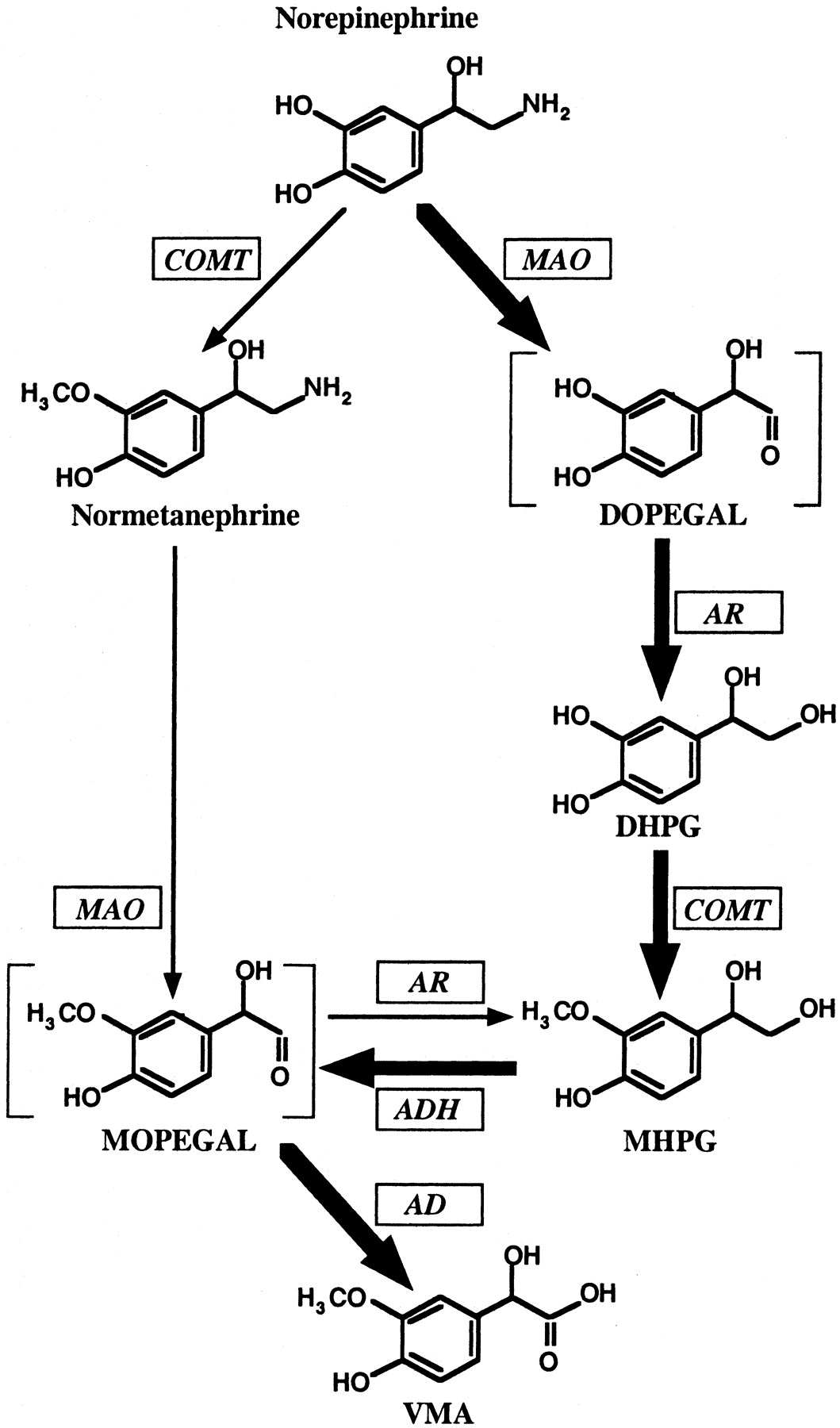 Catecholamine Metabolism A Contemporary View With Implications For Ppt Of Block Diagram Reduction Download Figure