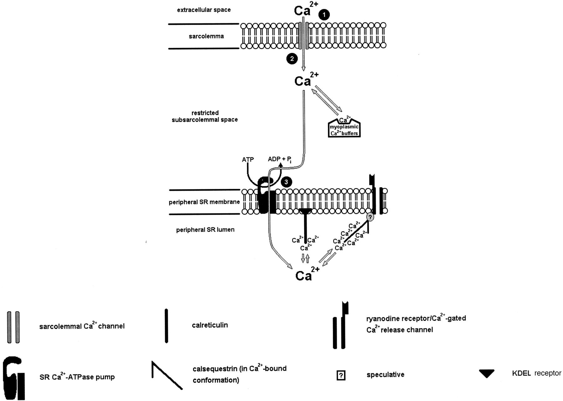 Pharmacological Modulation Of Sarcoplasmic Reticulum Function In