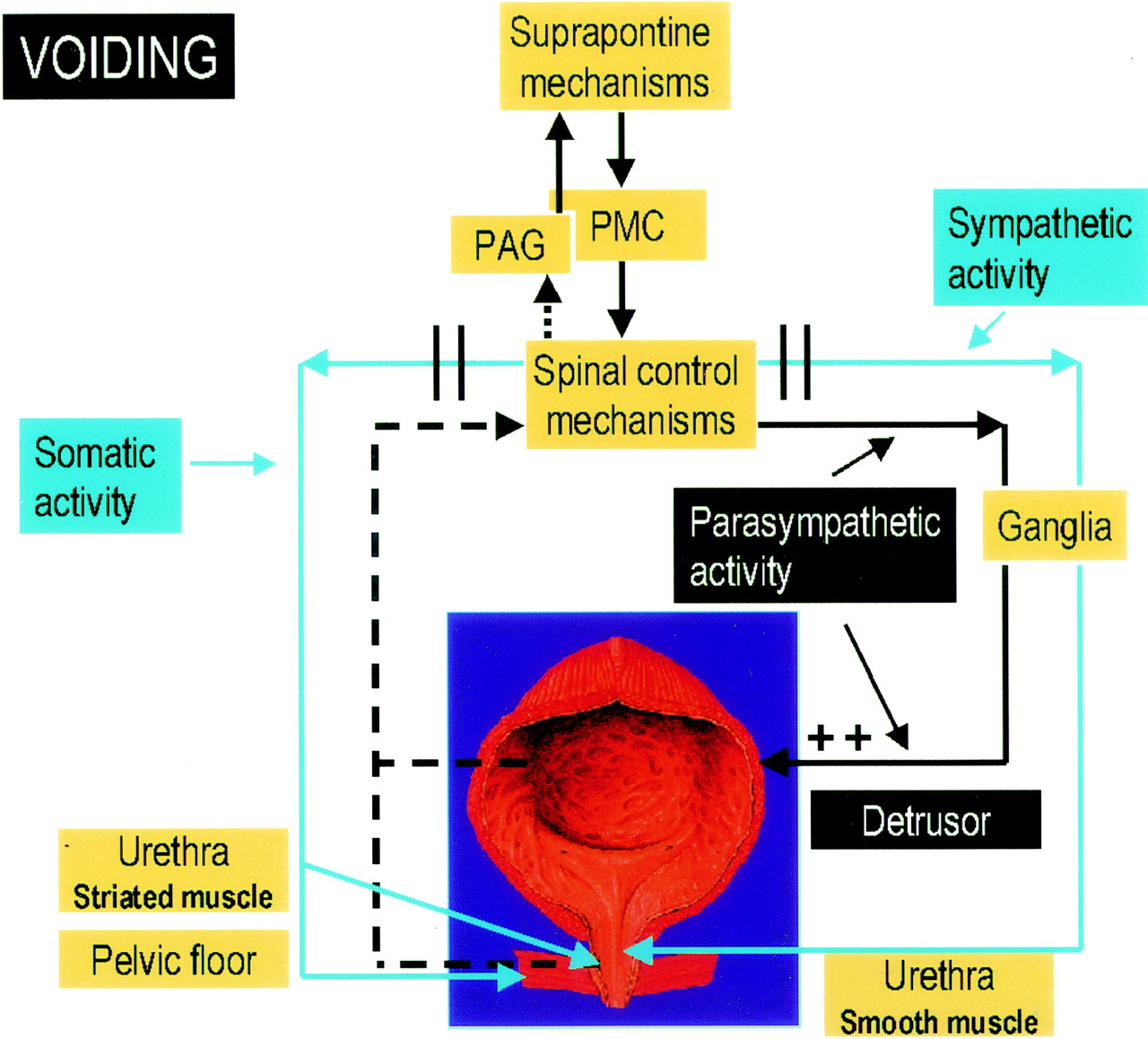 Fig 1 Pharmacology Of The Lower Urinary Tract Basis For Current Reviews Download Figure