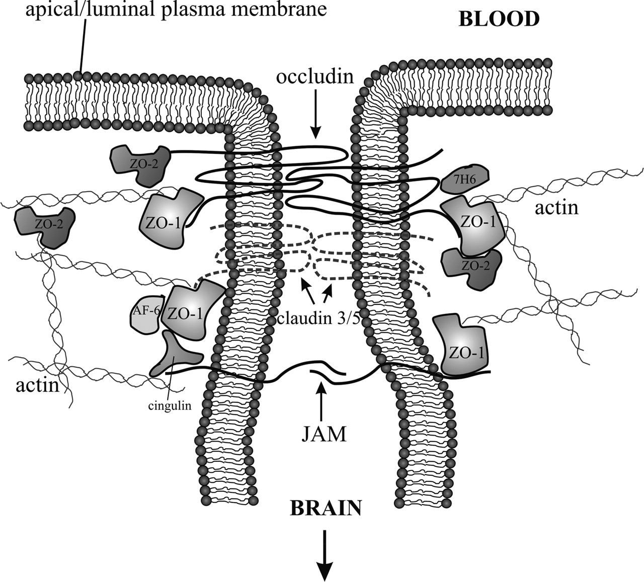 The Blood Brain Barrier Neurovascular Unit In Health And Disease 2000 Lincoln Ls Fuse Box Diagram Ford Download Figure