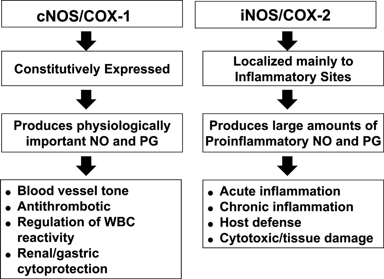 modulation of prostaglandin biosynthesis by nitric oxide and nitric