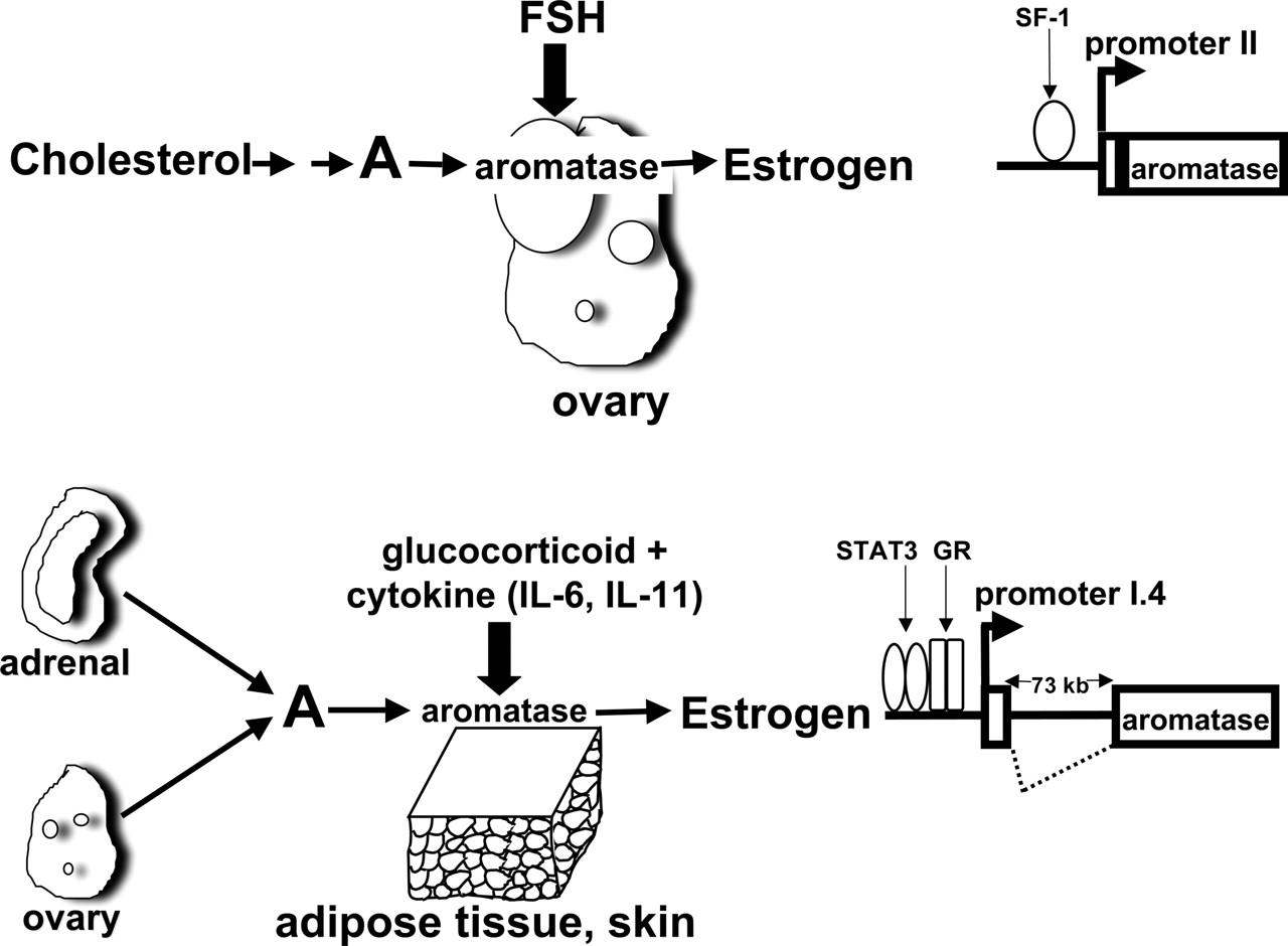 steroidogenic factor 1 in steroidogenesis