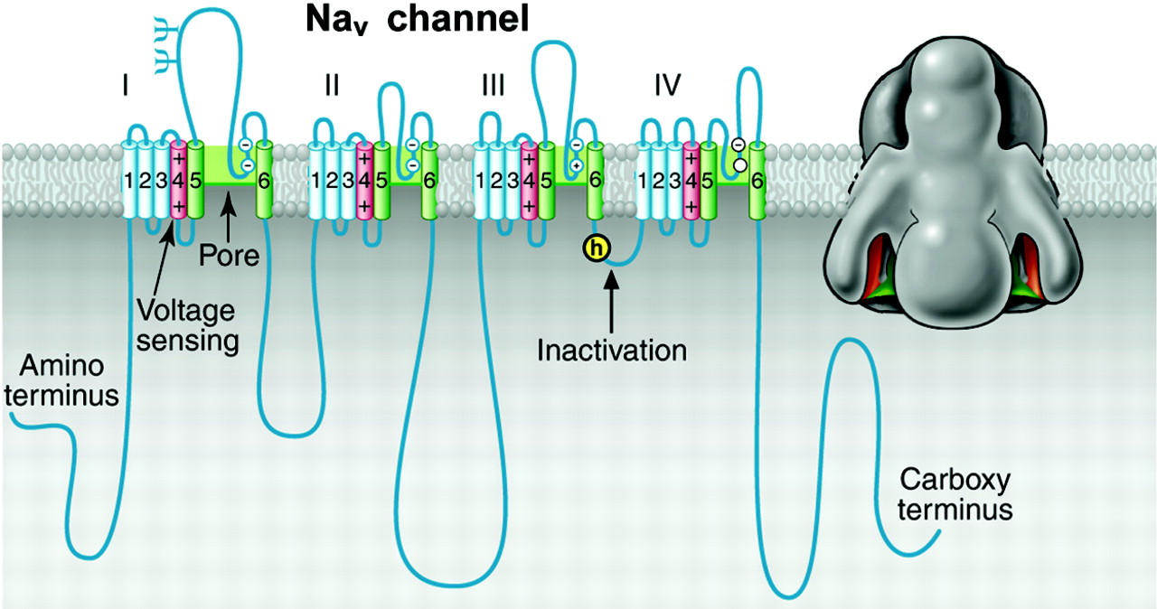 Voltage gated ion channel