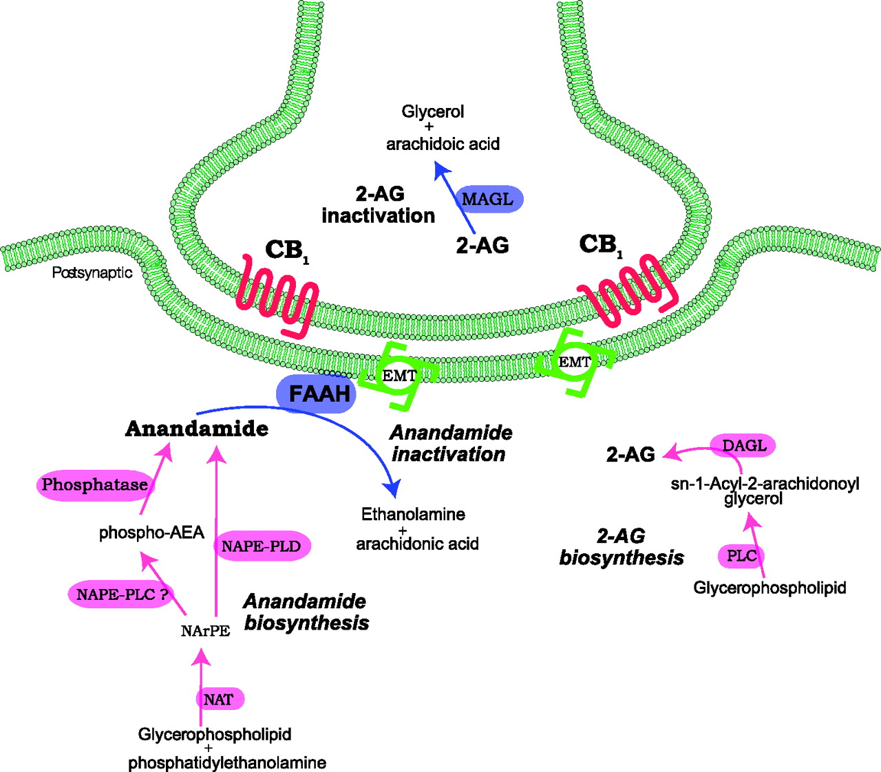 The Endocannabinoid System as an Emerging Target of
