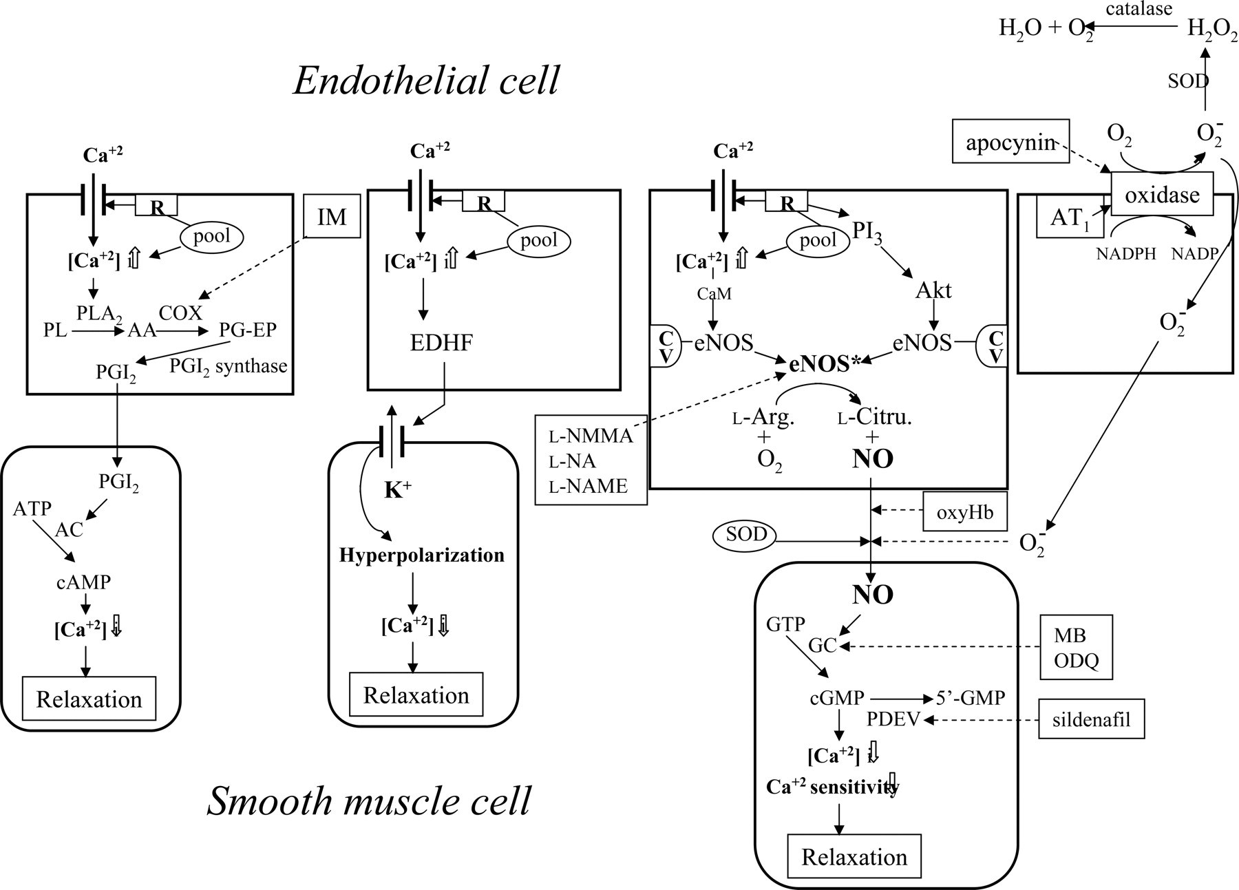 Interaction Of Endothelial Nitric Oxide And Angiotensin In The Process Flow Diagram Acid Download Figure
