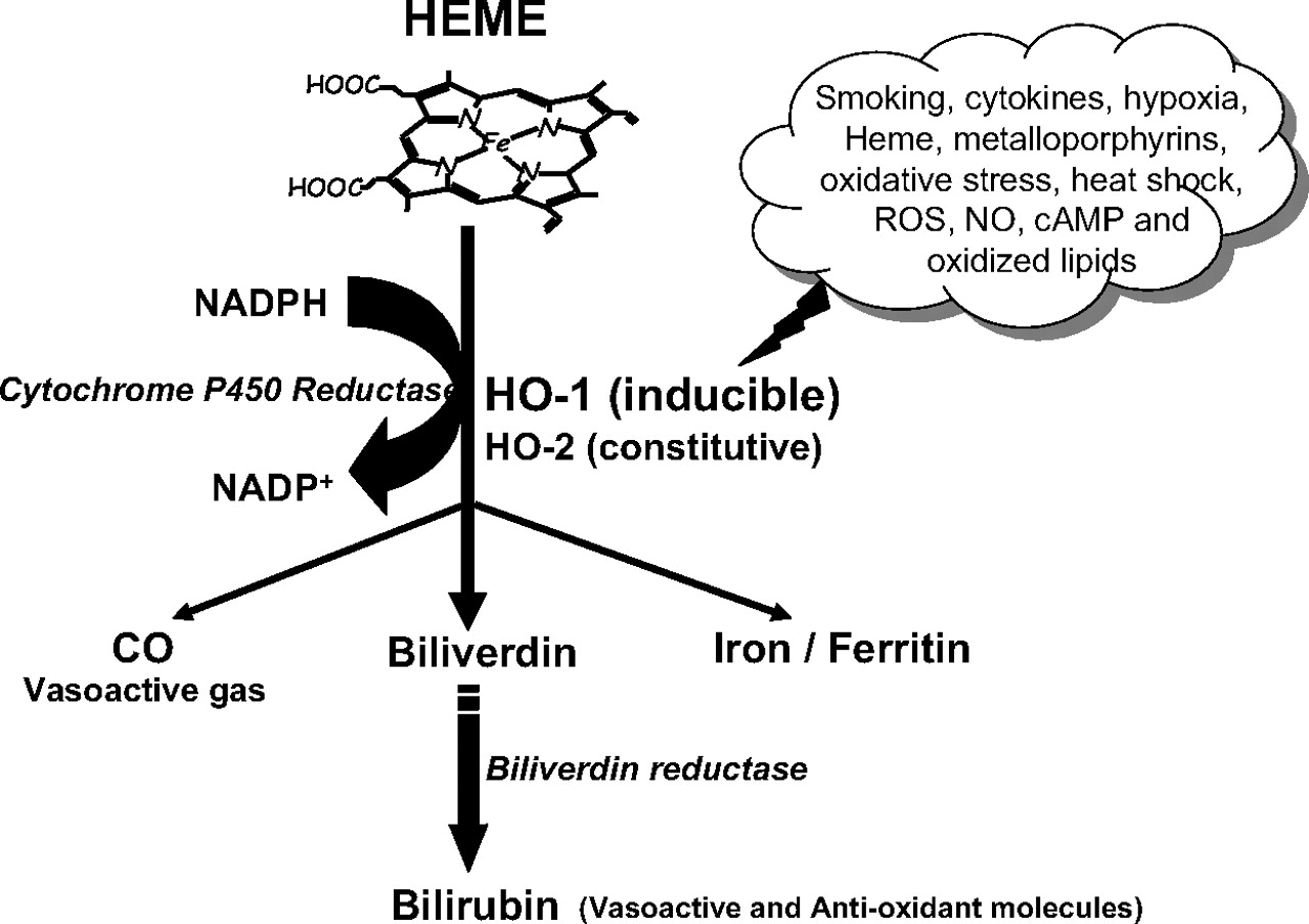 pharmacological and clinical aspects of heme oxygenase