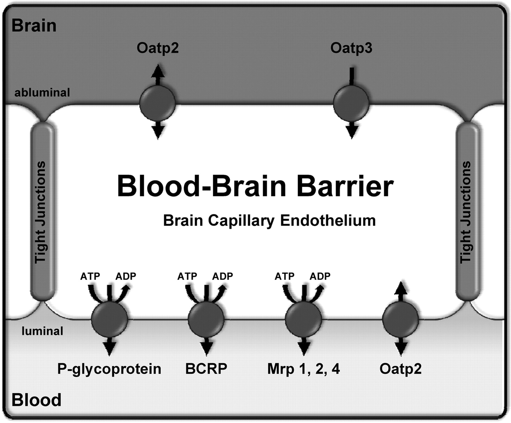 Modulation Of P Glycoprotein At The Blood Brain Barrier