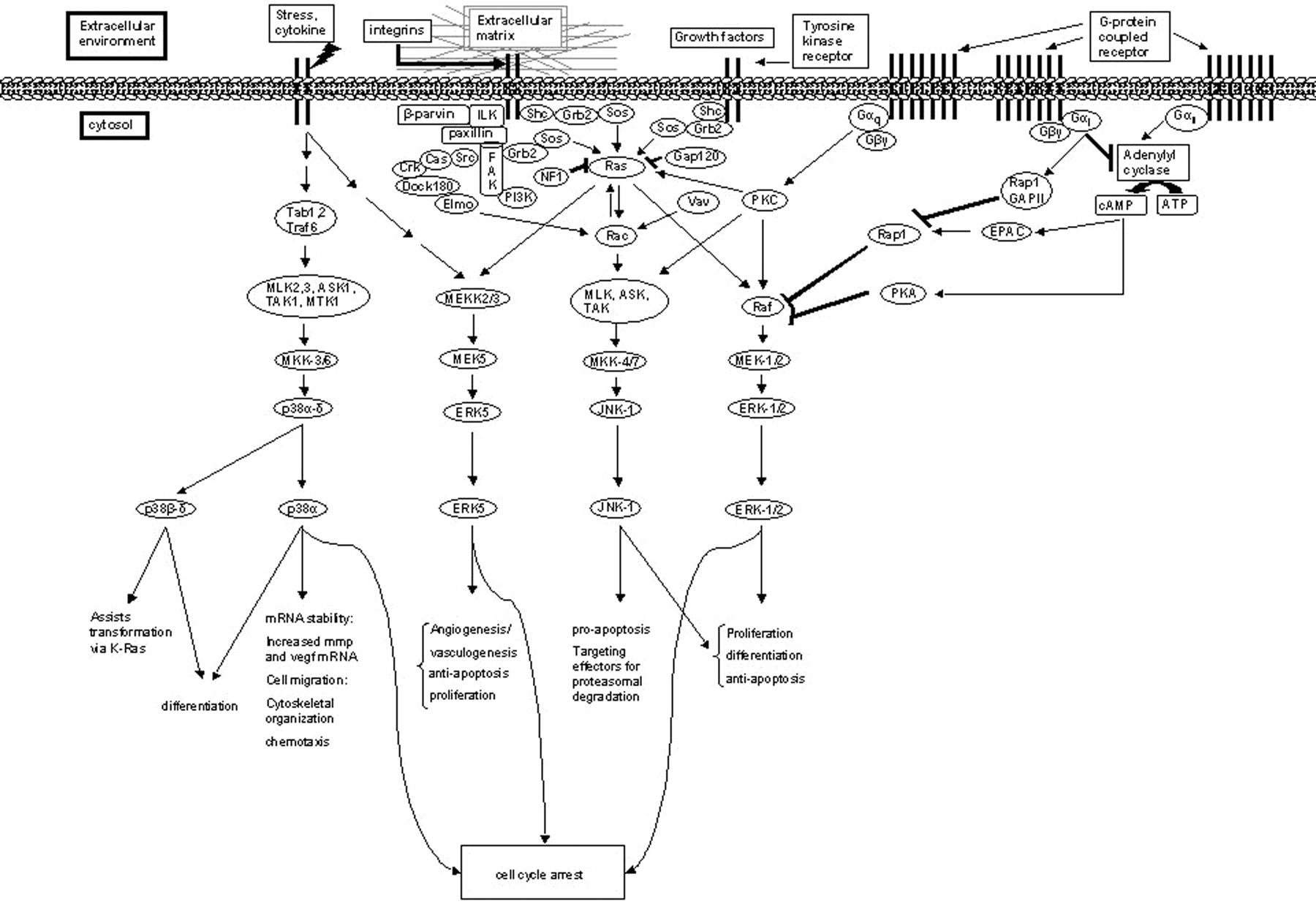 mitogen map kinase
