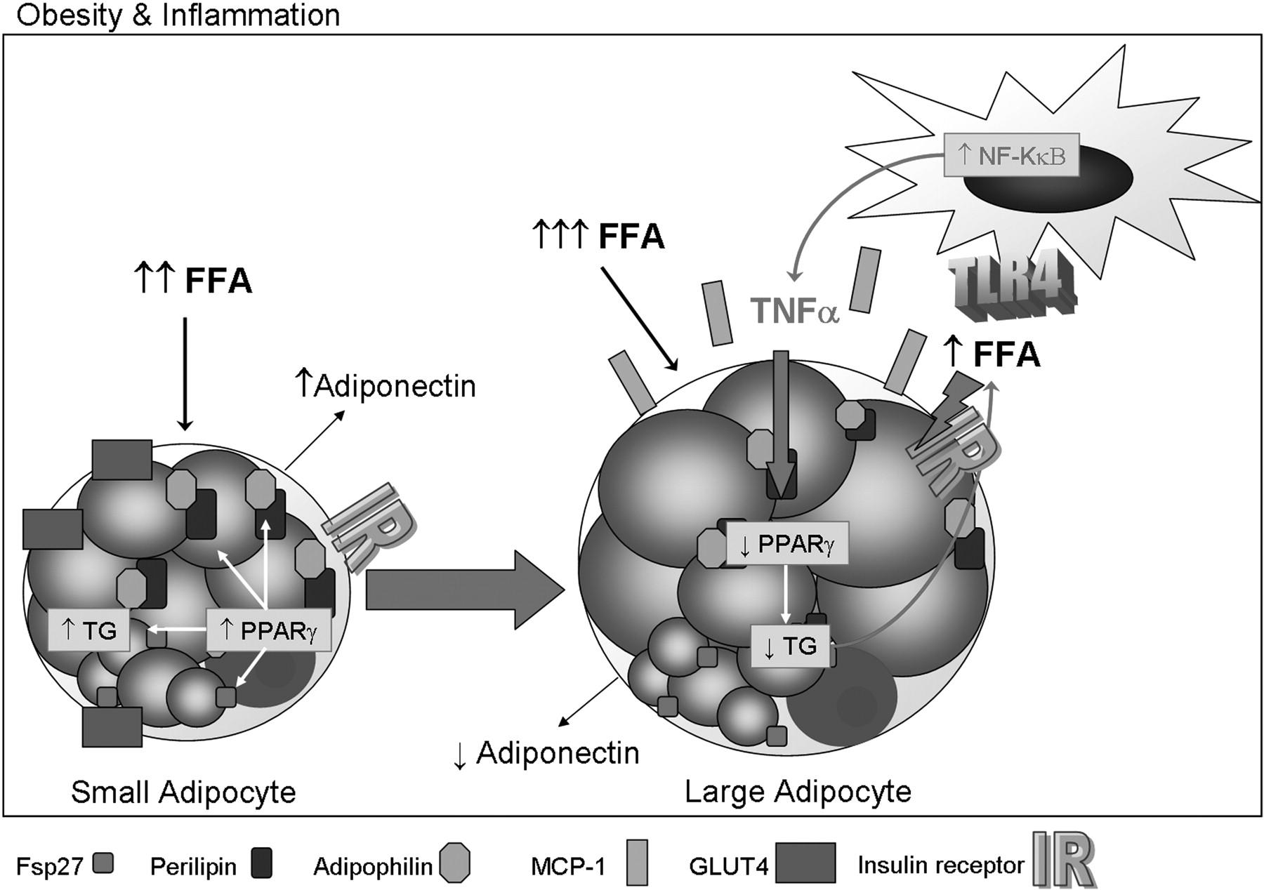 oleic acid adipocyte