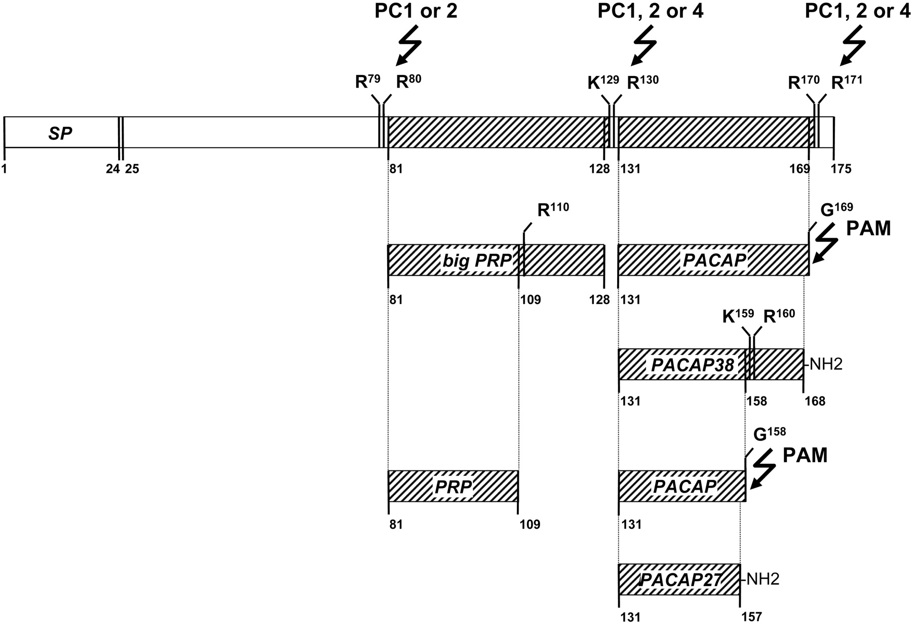 Pituitary Adenylate Cyclase Activating Polypeptide And Its Receptors F8 Arctic Cat Wiring Diagram Free Download Schematic Figure Open In New Tab Powerpoint