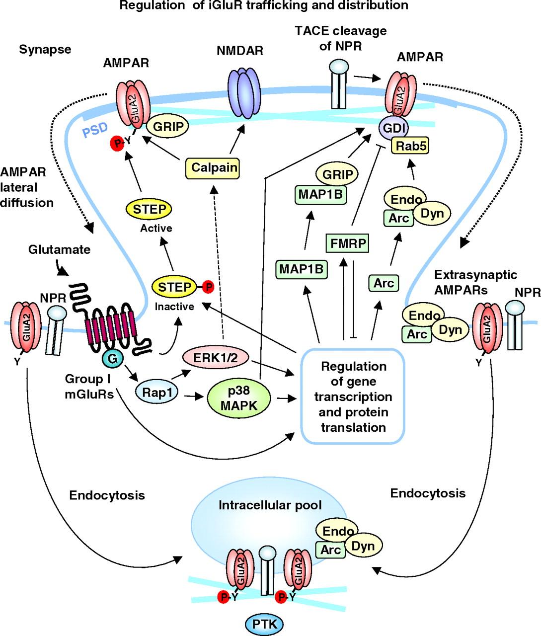 metabotropic glutamate receptor mediated long term depressionfig 1