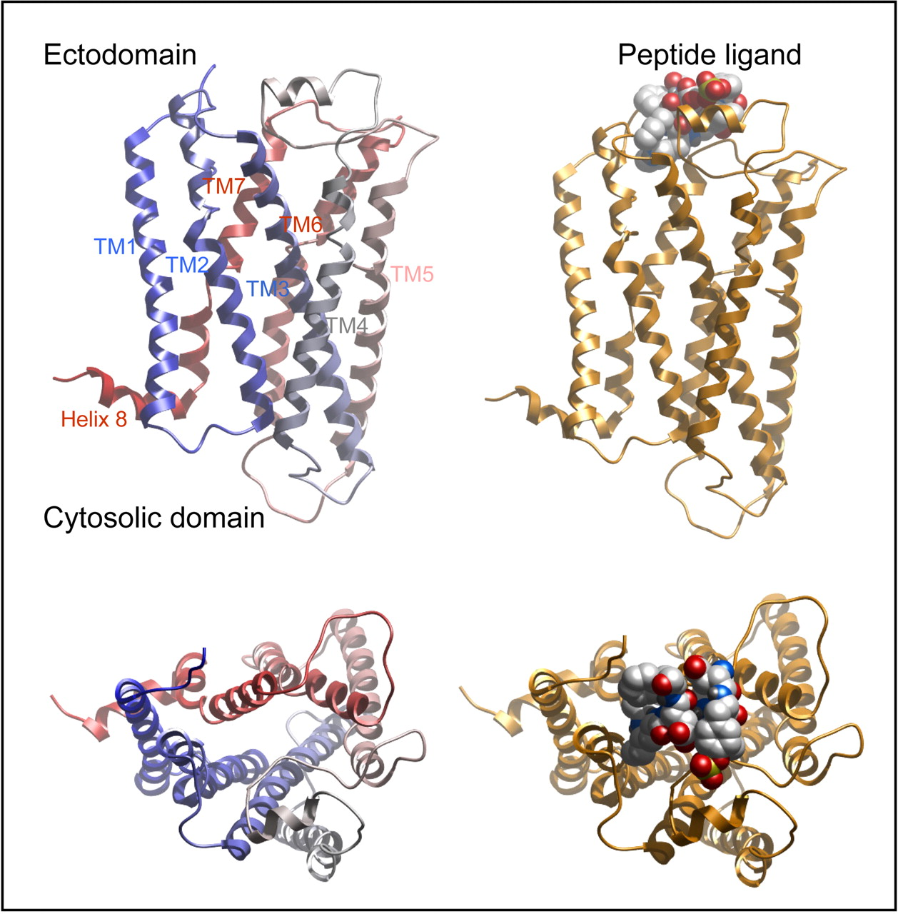 Seven Transmembrane Receptors as Shapeshifting Proteins: The Impact