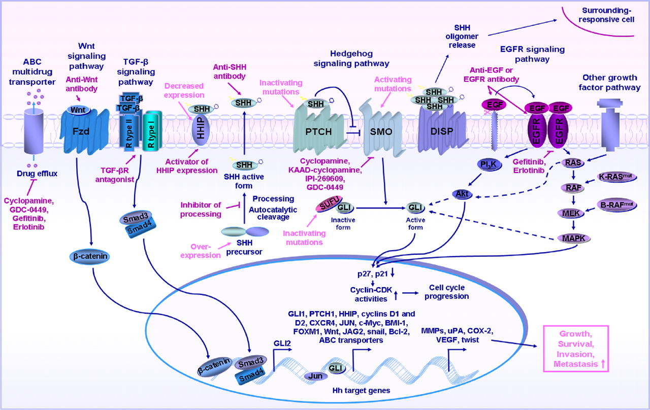 Frequent Deregulations In The Hedgehog Signaling Network