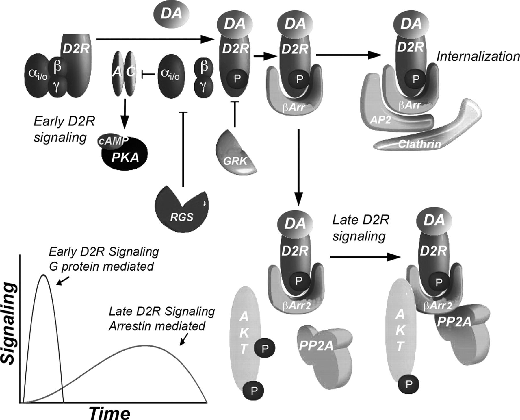 how to fix dopamine receptors