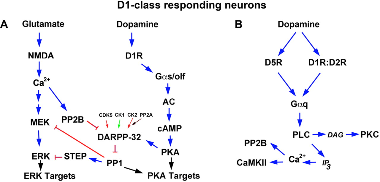 The Physiology, Signaling, and Pharmacology of Dopamine