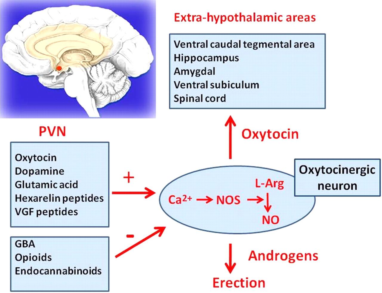 nerves responsible for erectile function