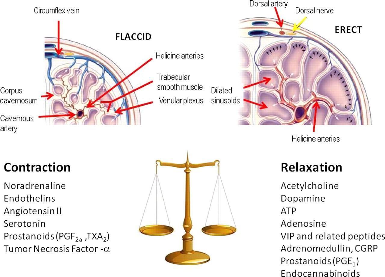 More nerve receptors on penis