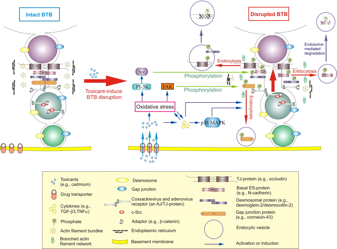 The BloodTestis Barrier and Its Implications for Male