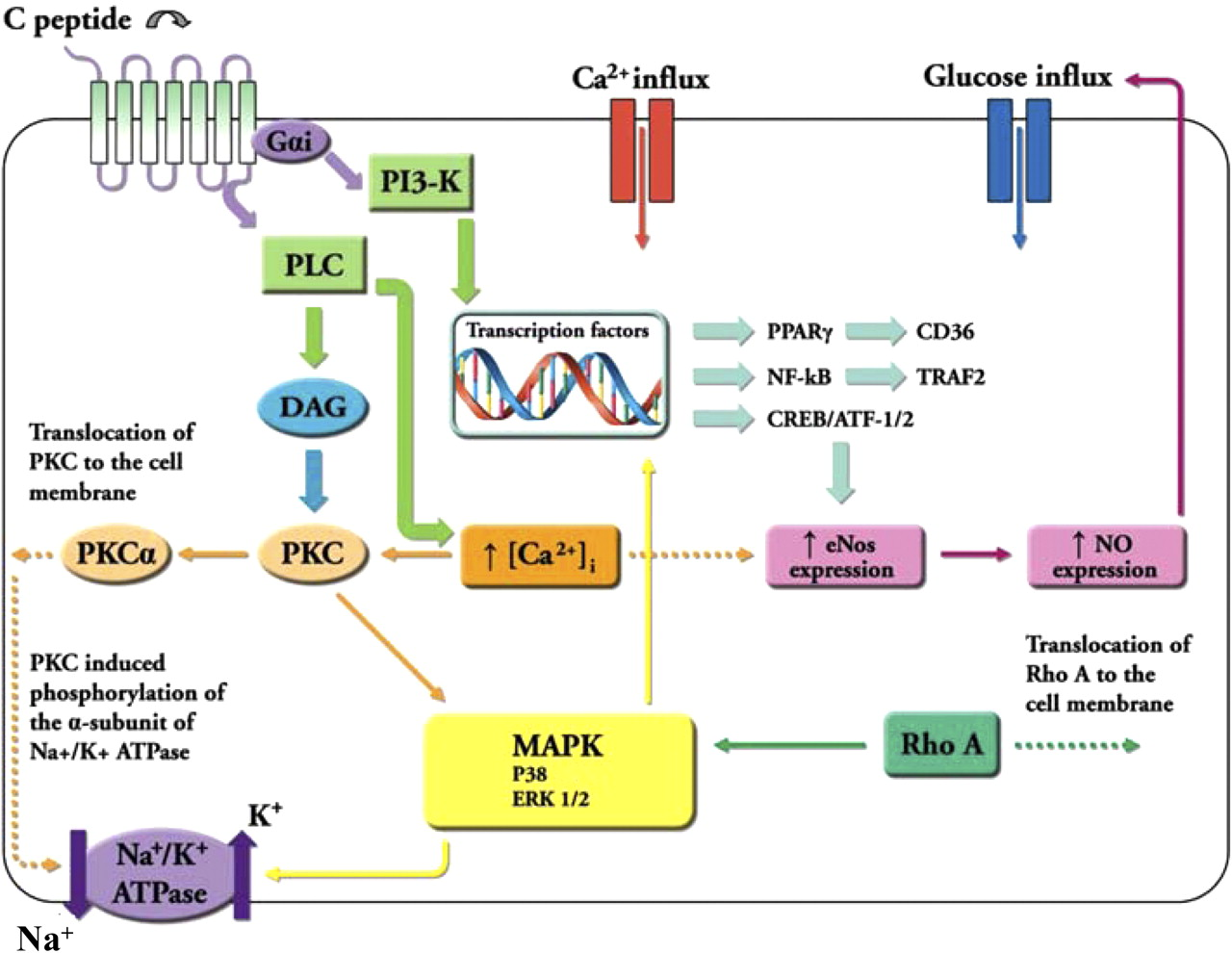 Novel Pharmacological Approaches to the Treatment of Type 2 Diabetes