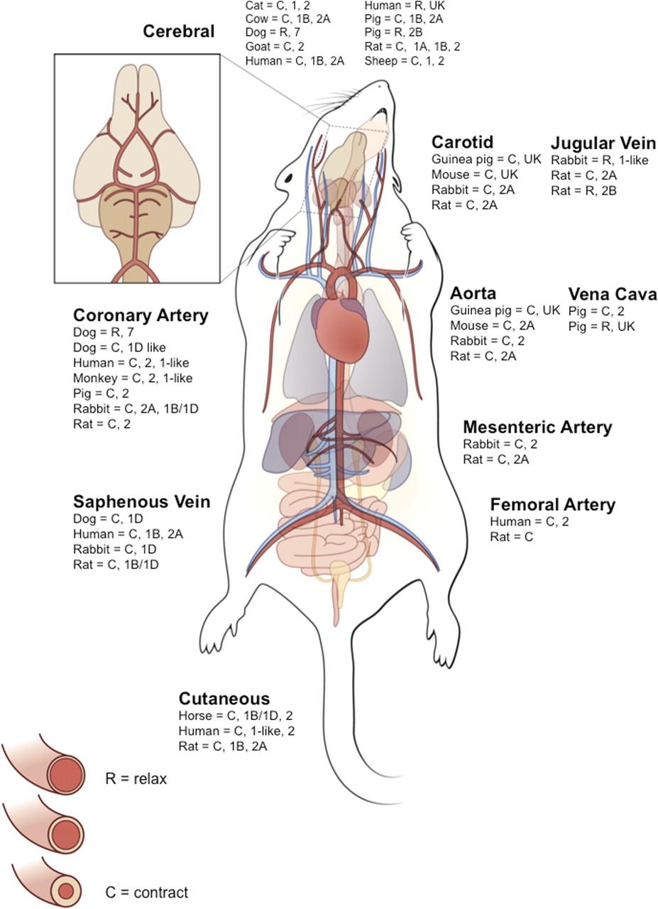 Serotonin and Blood Pressure Regulation | Pharmacological Reviews