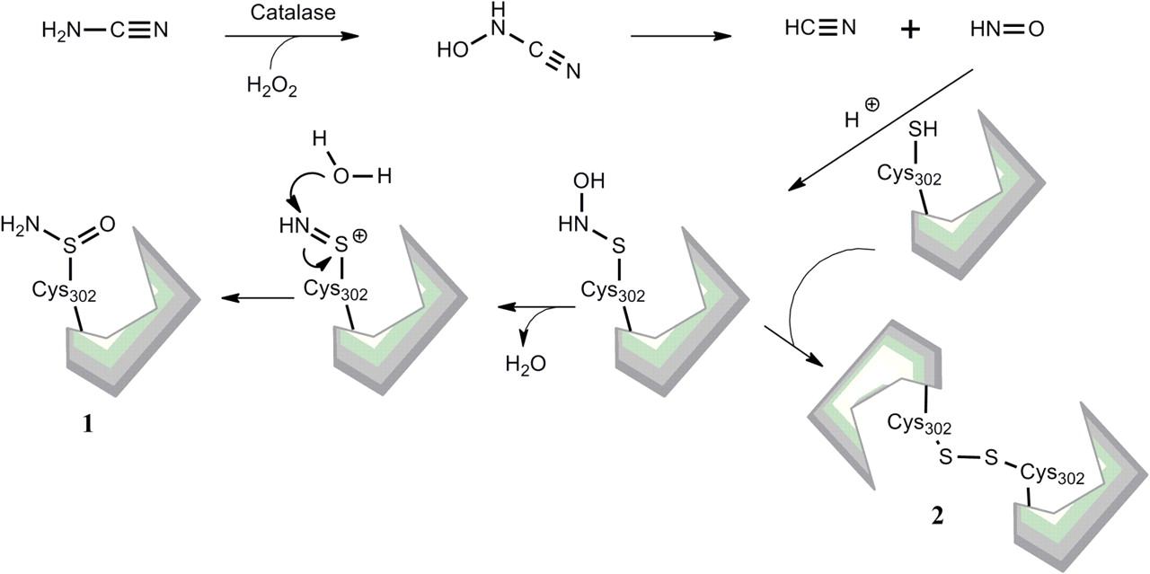 inhibition of alcohol dehydrogenase (1998) mechanisms of inhibition of aldehyde dehydrogenase by nitroxyl, the active metabolite of the alcohol deterrent agent cyanamide biochem pharmacol 55 :2007–2015 [ pubmed ] demaster eg, shirota fn, nagasawa ht.