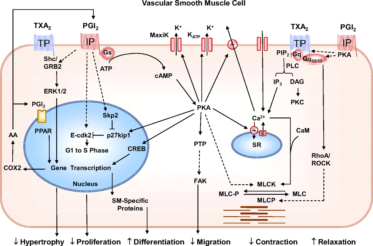 Molecular Mechanisms Regulating the Vascular Prostacyclin