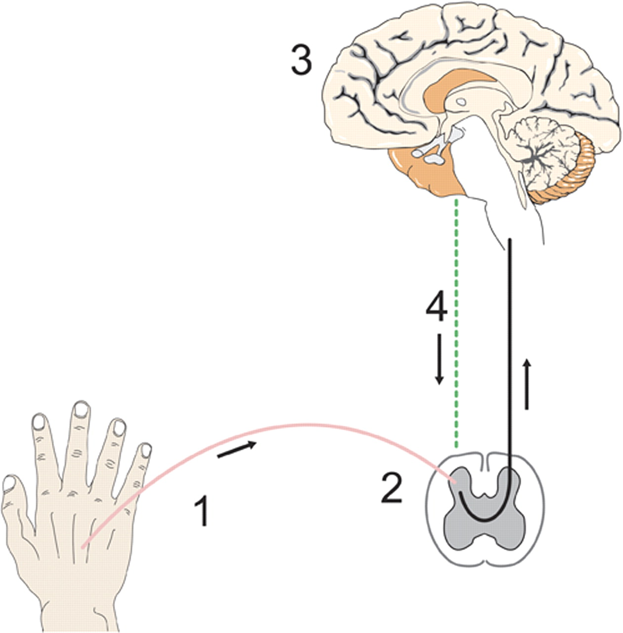 Human Experimental Pain Models For Assessing The Therapeutic Results Simple Brain Diagram 505 Download Figure