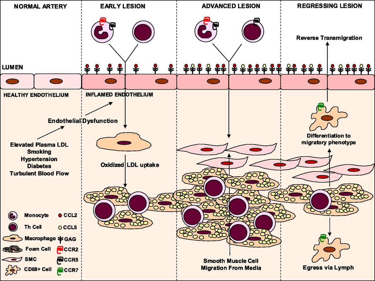 Cc Chemokine Receptors And Chronic Inflammation U2014therapeutic Opportunities And Pharmacological