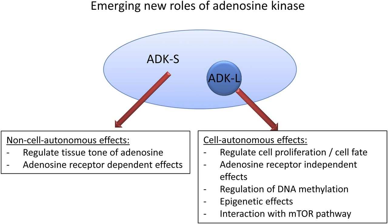 Adenosine Kinase: Exploitation for Therapeutic Gain ...
