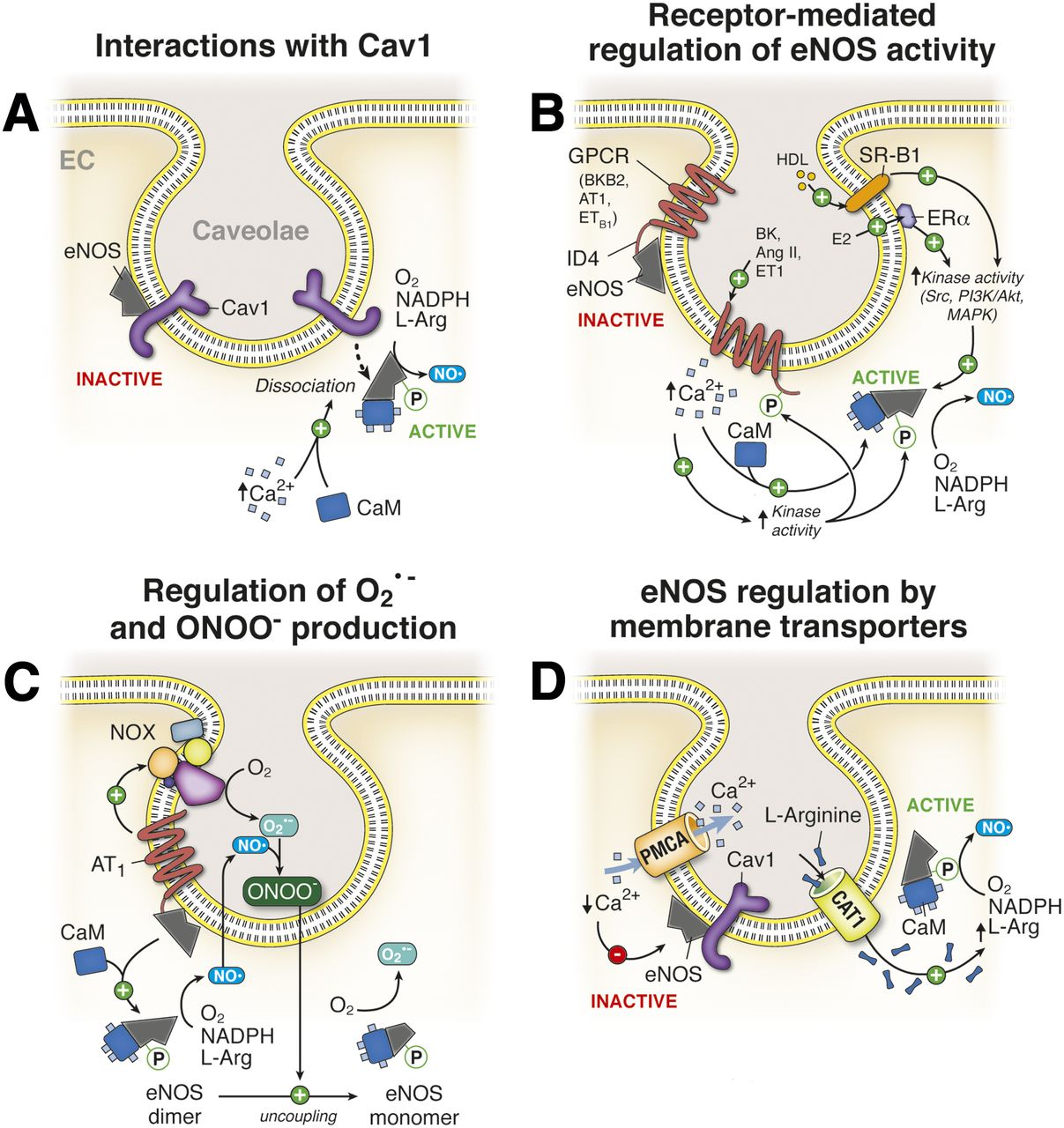 Regulation of Cellular Communication by Signaling Microdomains in