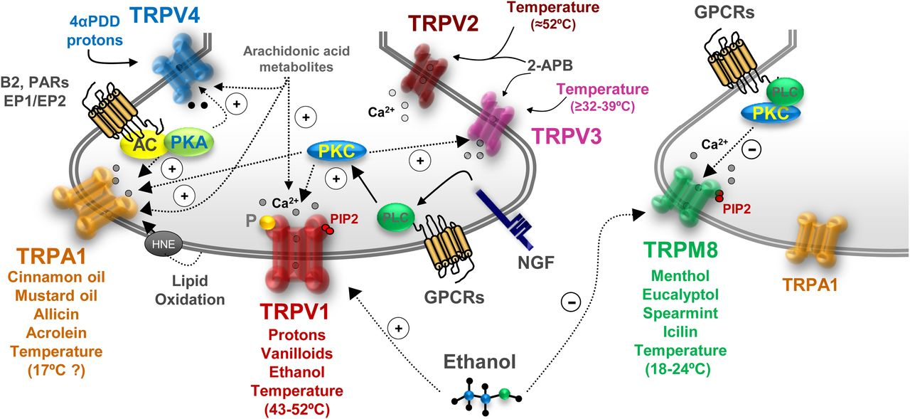 Transient Receptor Potential Channels as Drug Targets: From