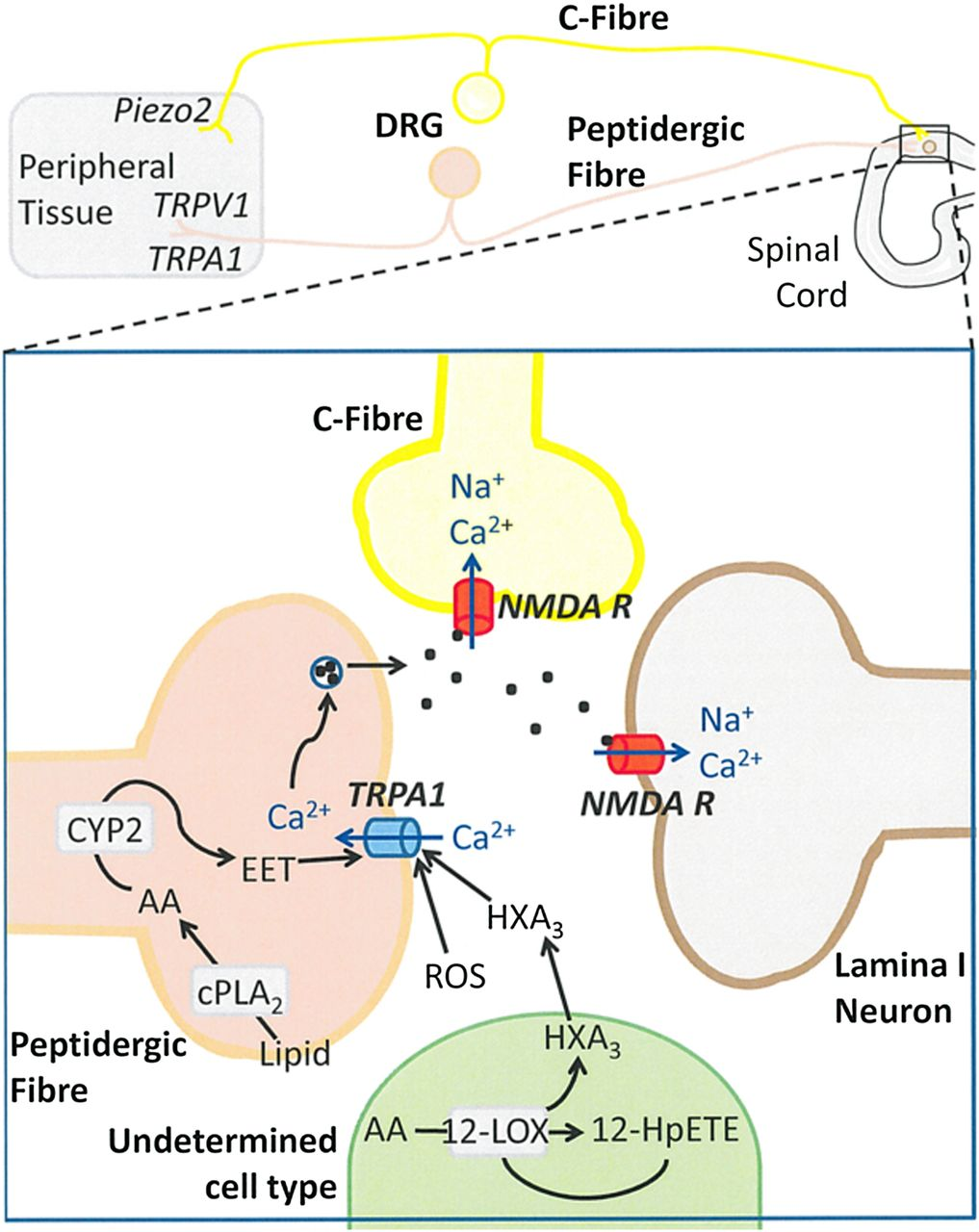 Transient Receptor Potential Channels As Drug Targets From The Flasher Circuit Using Quotjunction Breakdownquot Science Of Basic Research To Art Medicine Pharmacological Reviews