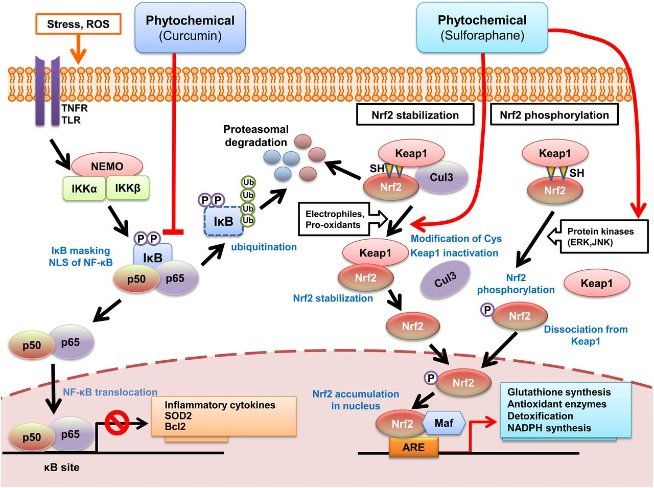 Adaptive Cellular Stress Pathways As Therapeutic Targets