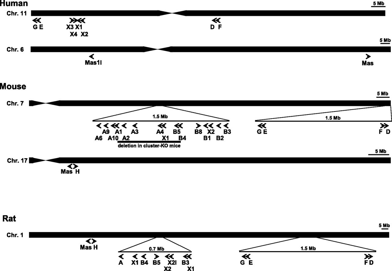Mas And Its Related G Proteincoupled Receptors Mrgprs Diagram Of Bridge Components Bing Images Download Figure