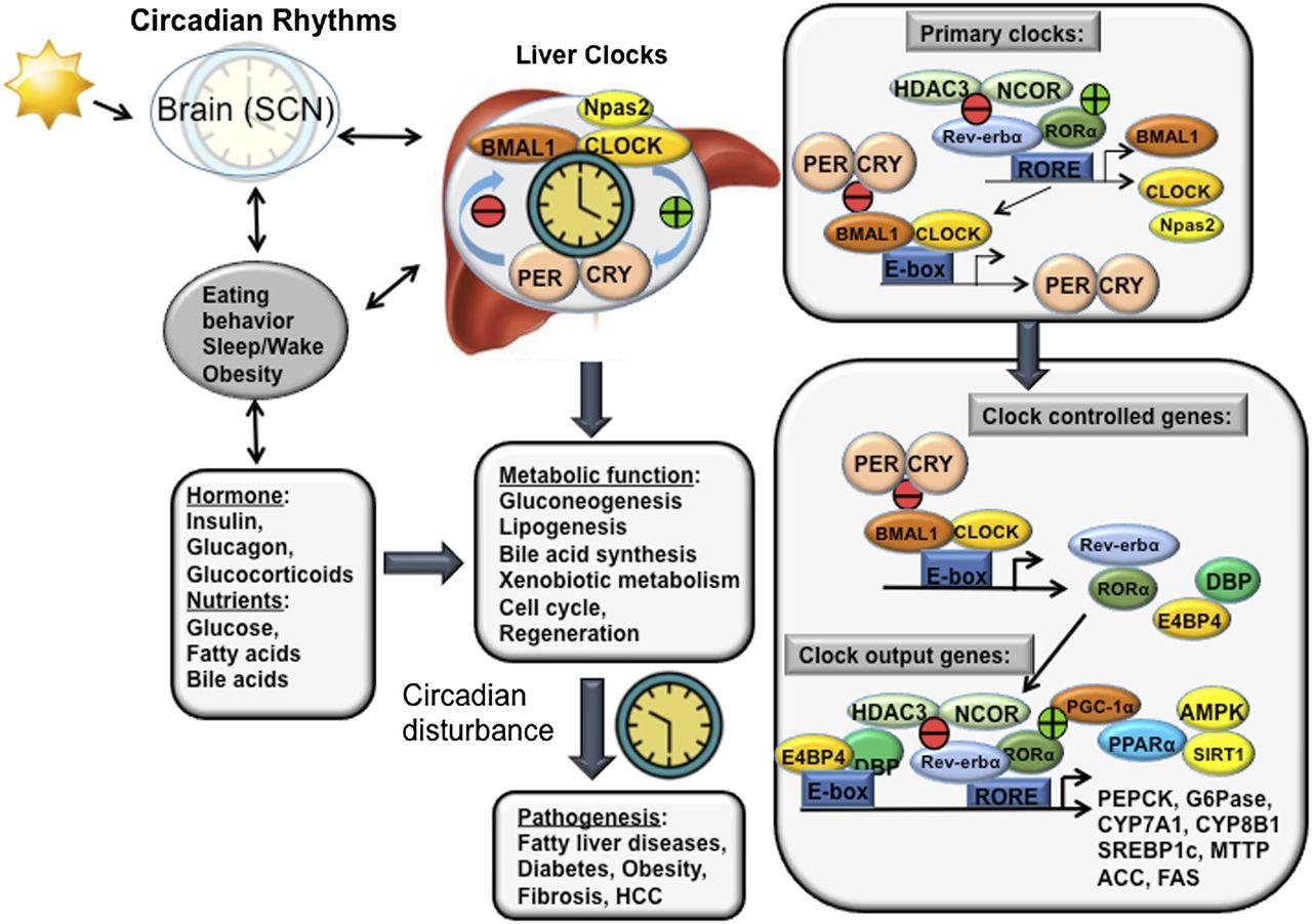 glucose to glucose 6 phosphate anabolic