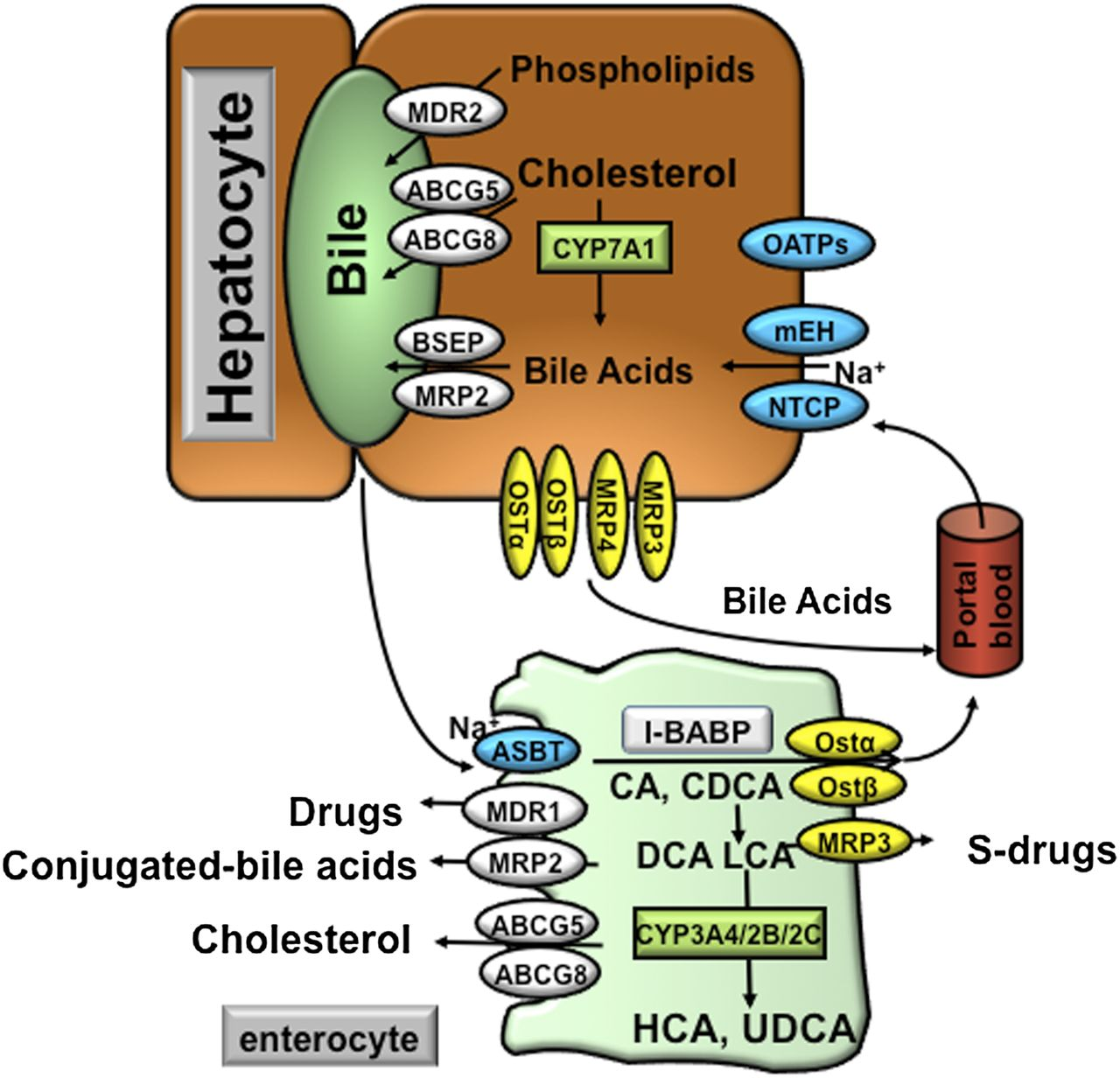 Bile Acid Signaling In Metabolic Disease And Drug Therapy